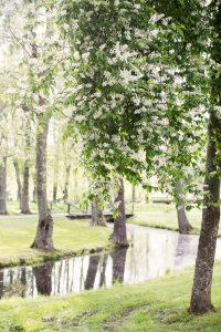 Blomstrande hägg vid ån